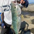 もりたつさんの鹿児島県出水郡での釣果写真