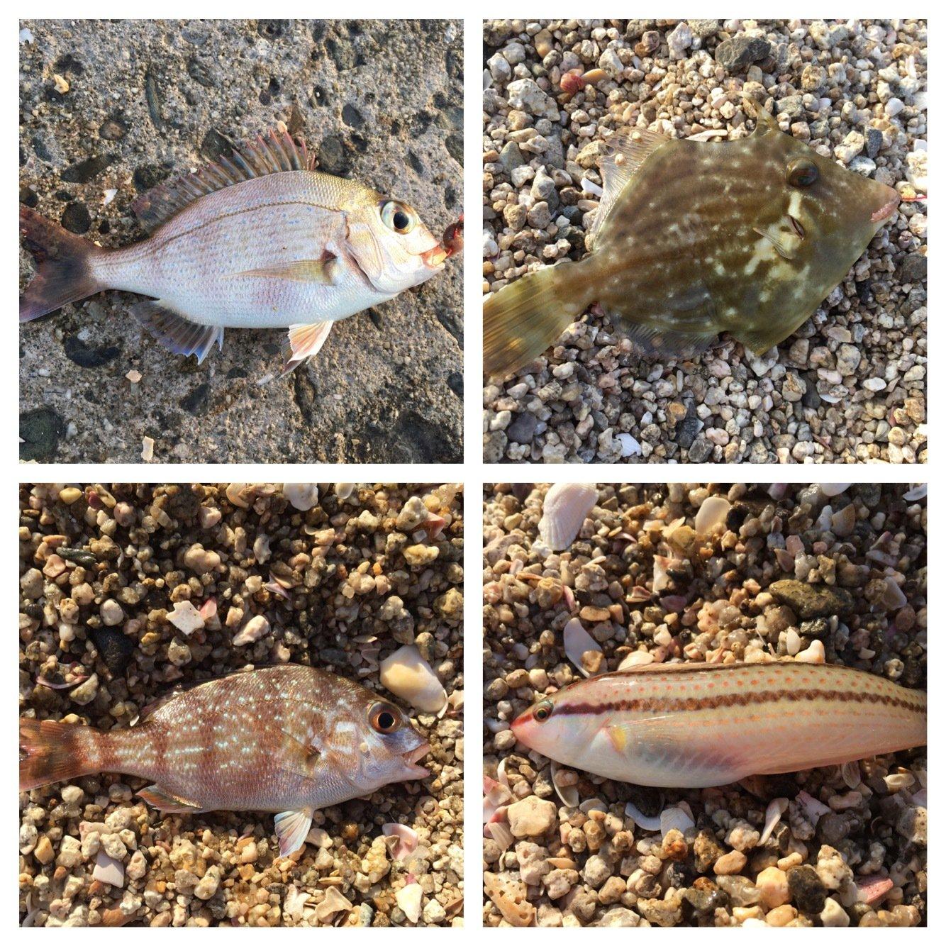 akipapaさんの投稿画像,写っている魚は