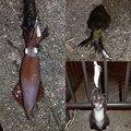 nyaanyaさんの兵庫県でのケンサキイカの釣果写真