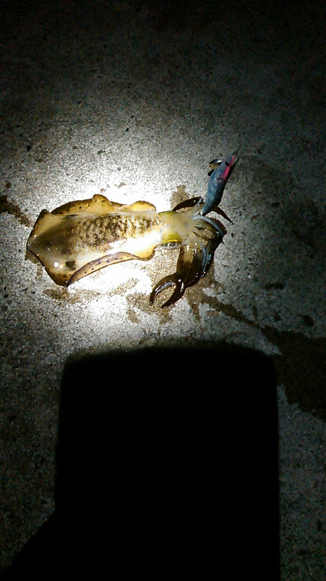 レノンさんの投稿画像,写っている魚はアオリイカ