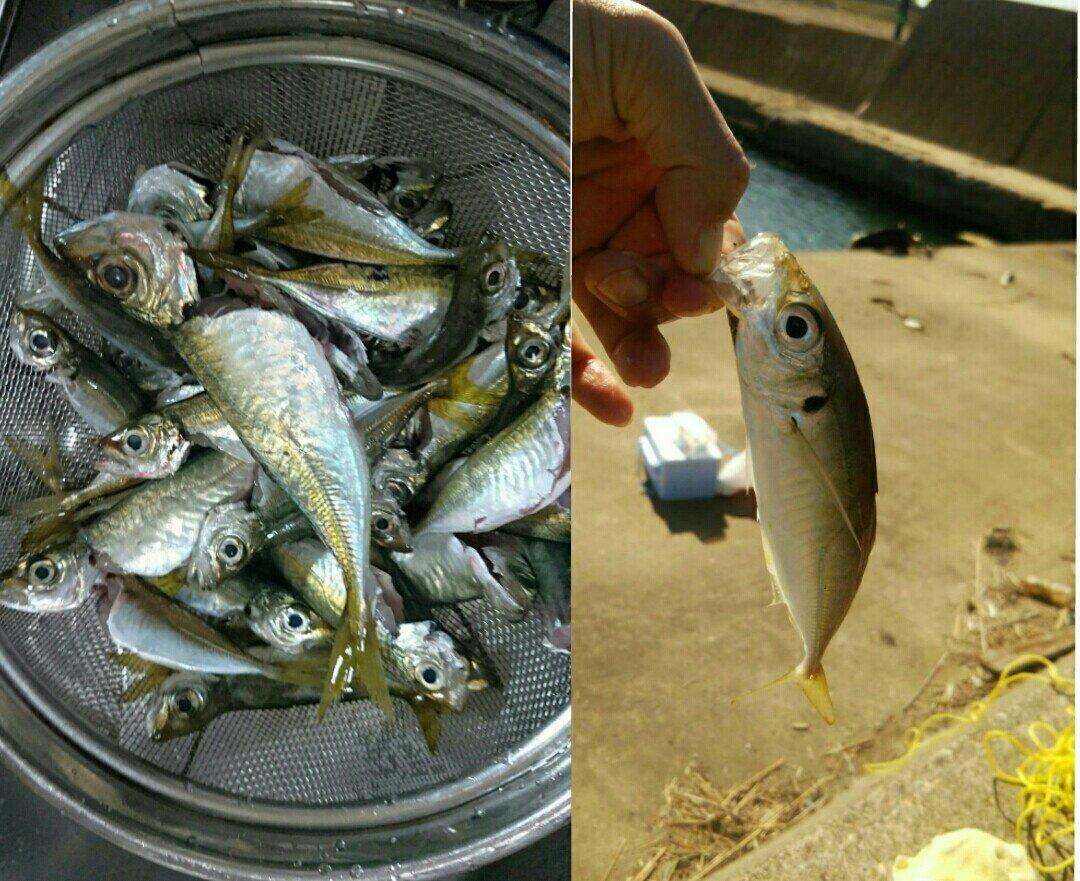 mimiさんの投稿画像,写っている魚はアジ