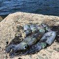 シンデレラさんの福井県三方郡での釣果写真