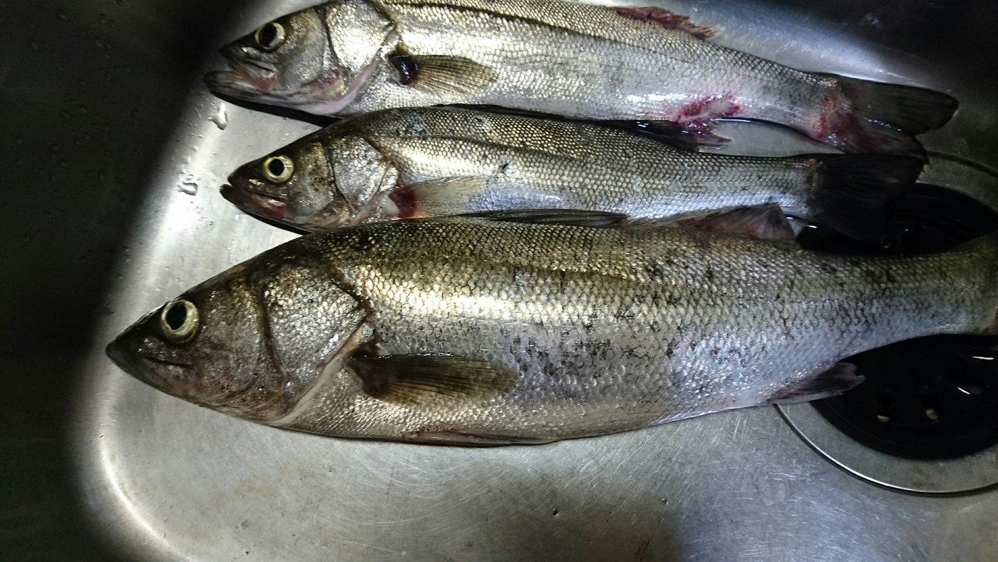 平林大記さんの投稿画像,写っている魚はスズキ