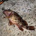 うんすいさんの兵庫県でのカサゴの釣果写真