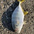 ダッカーさんの千葉県富津市での釣果写真