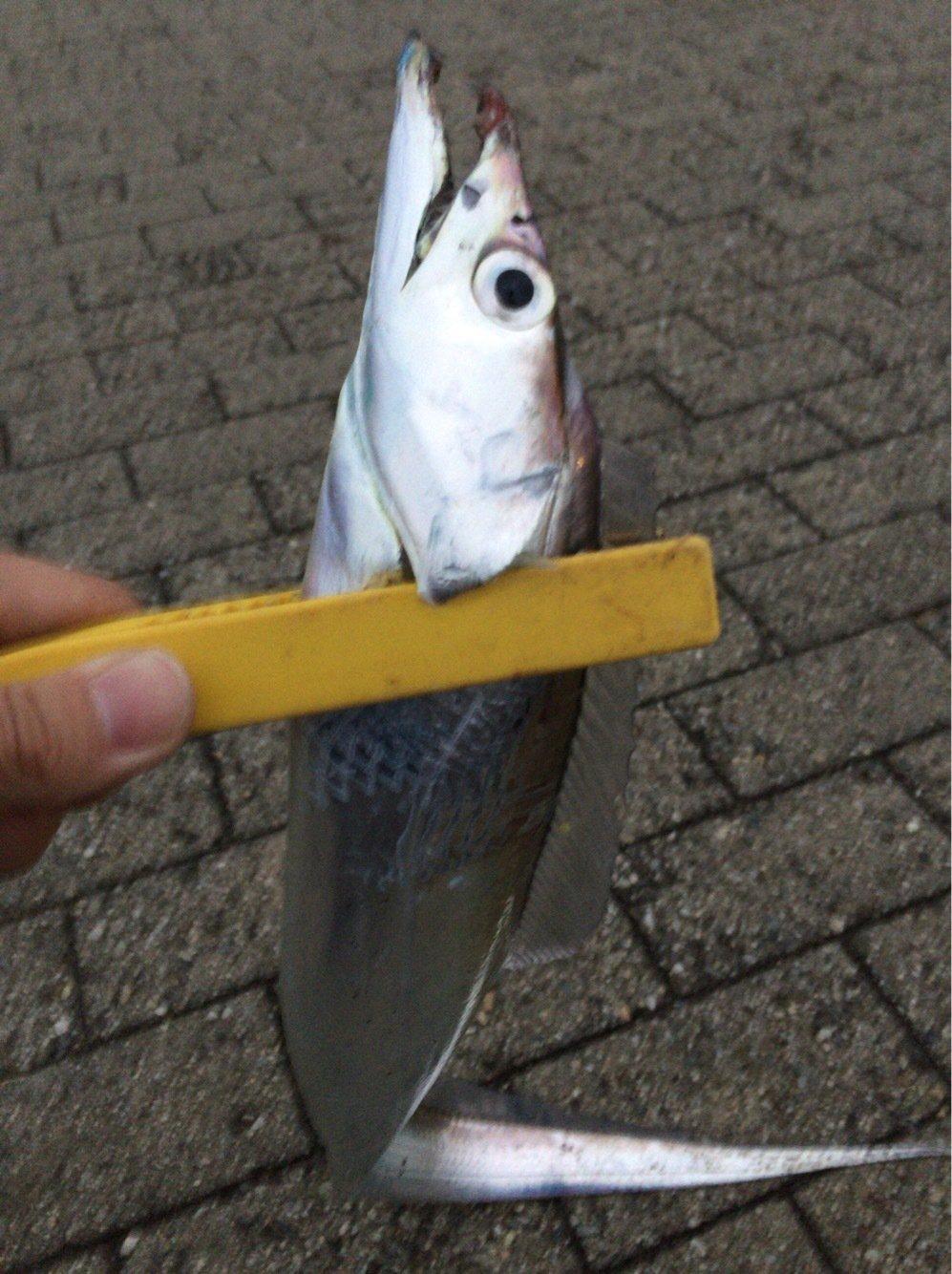 ココパパさんの投稿画像,写っている魚はタチウオ