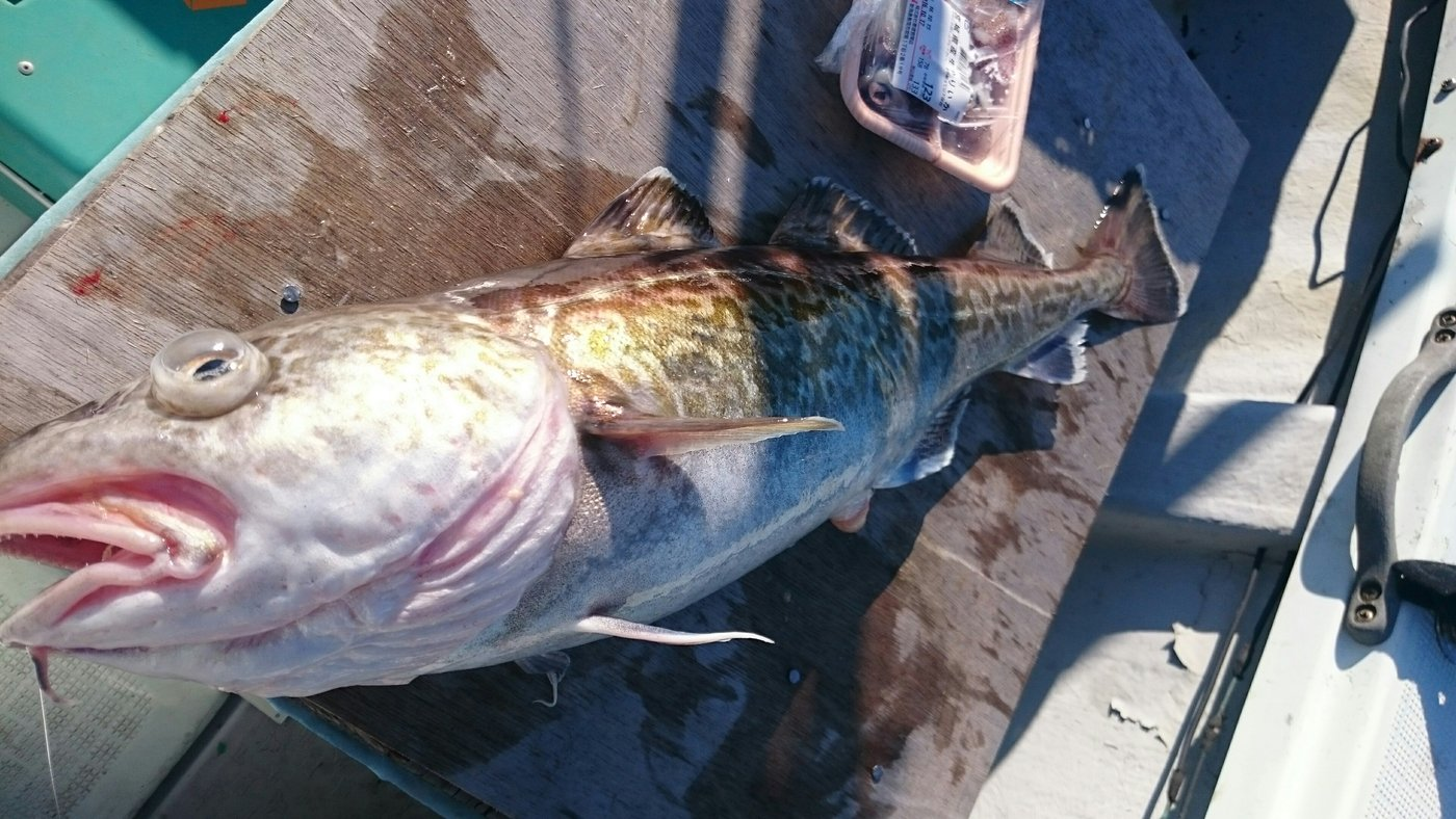ひろしさんの投稿画像,写っている魚はマダラ