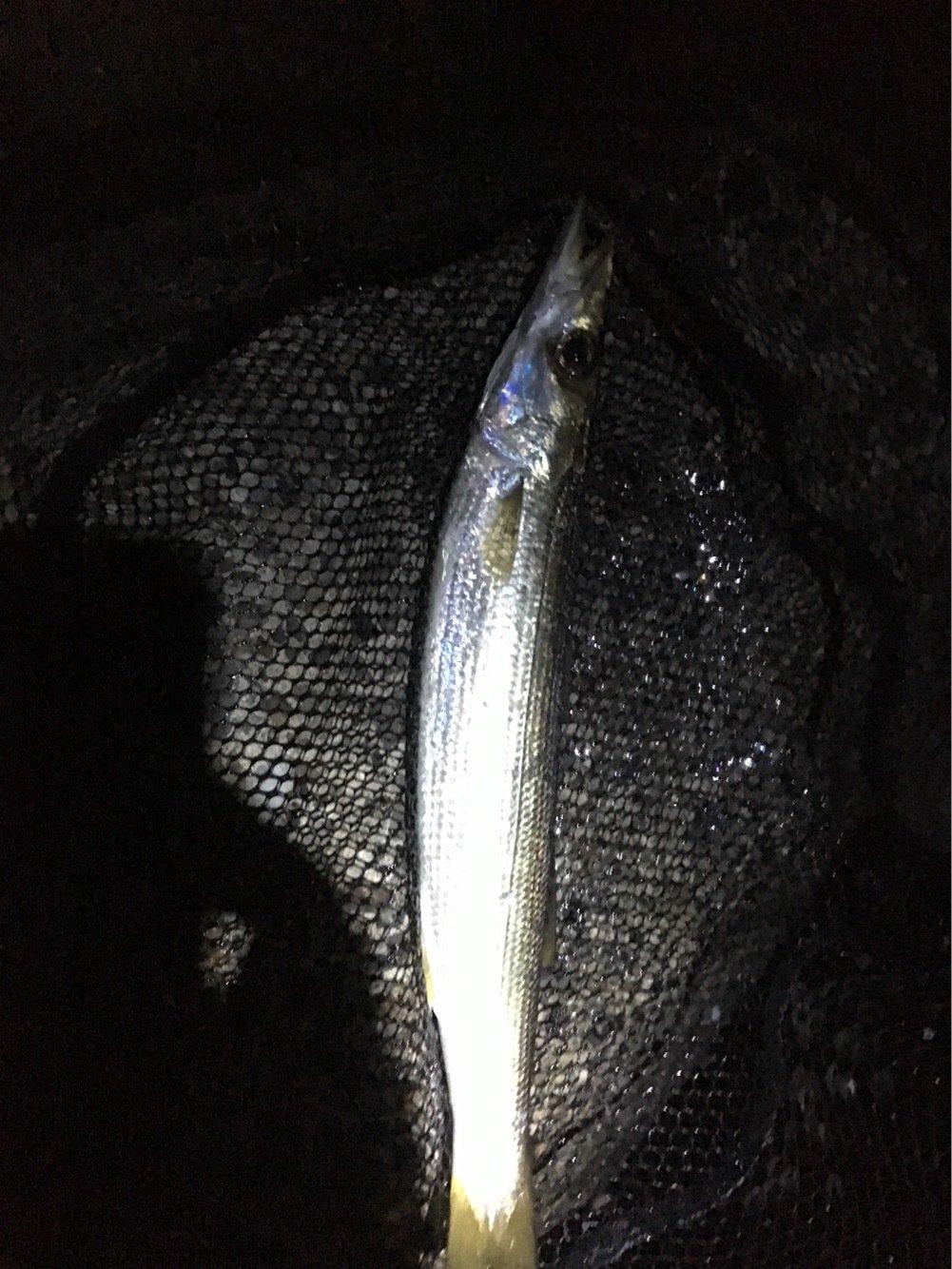 かずさんの投稿画像,写っている魚はカマス