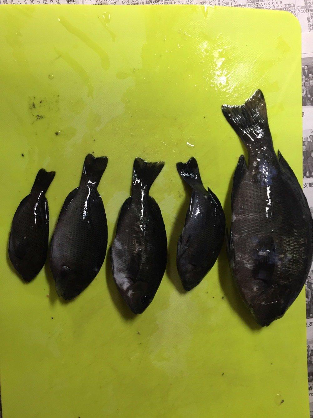 パパメガネさんの投稿画像,写っている魚はメジナ