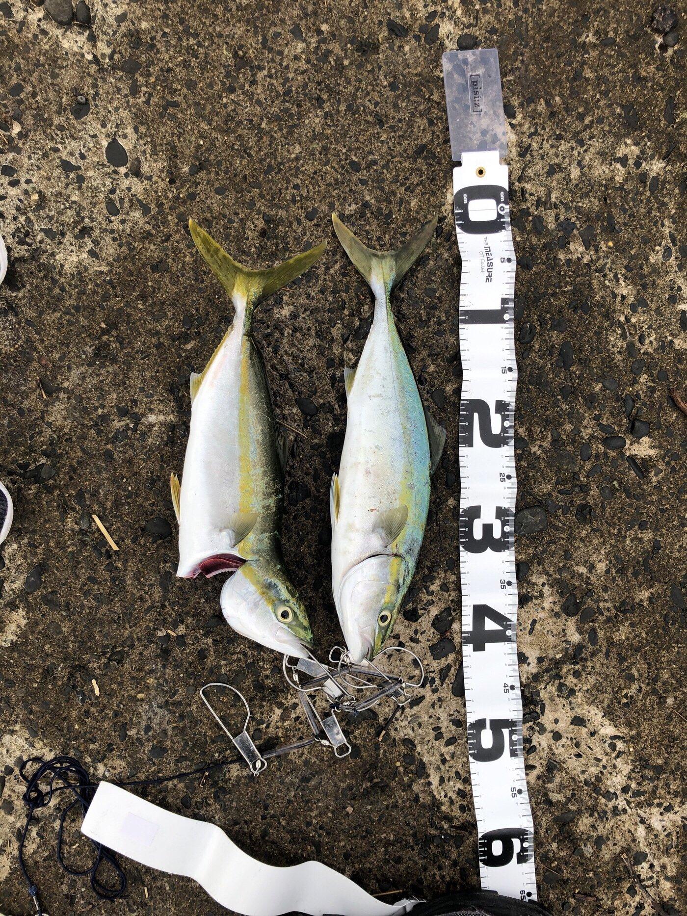 はるきさんの投稿画像,写っている魚はブリ,ヒラメ
