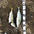 はるきさんの千葉県富津市での釣果写真