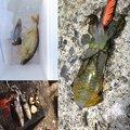 イカ娘さんの新潟県岩船郡での釣果写真