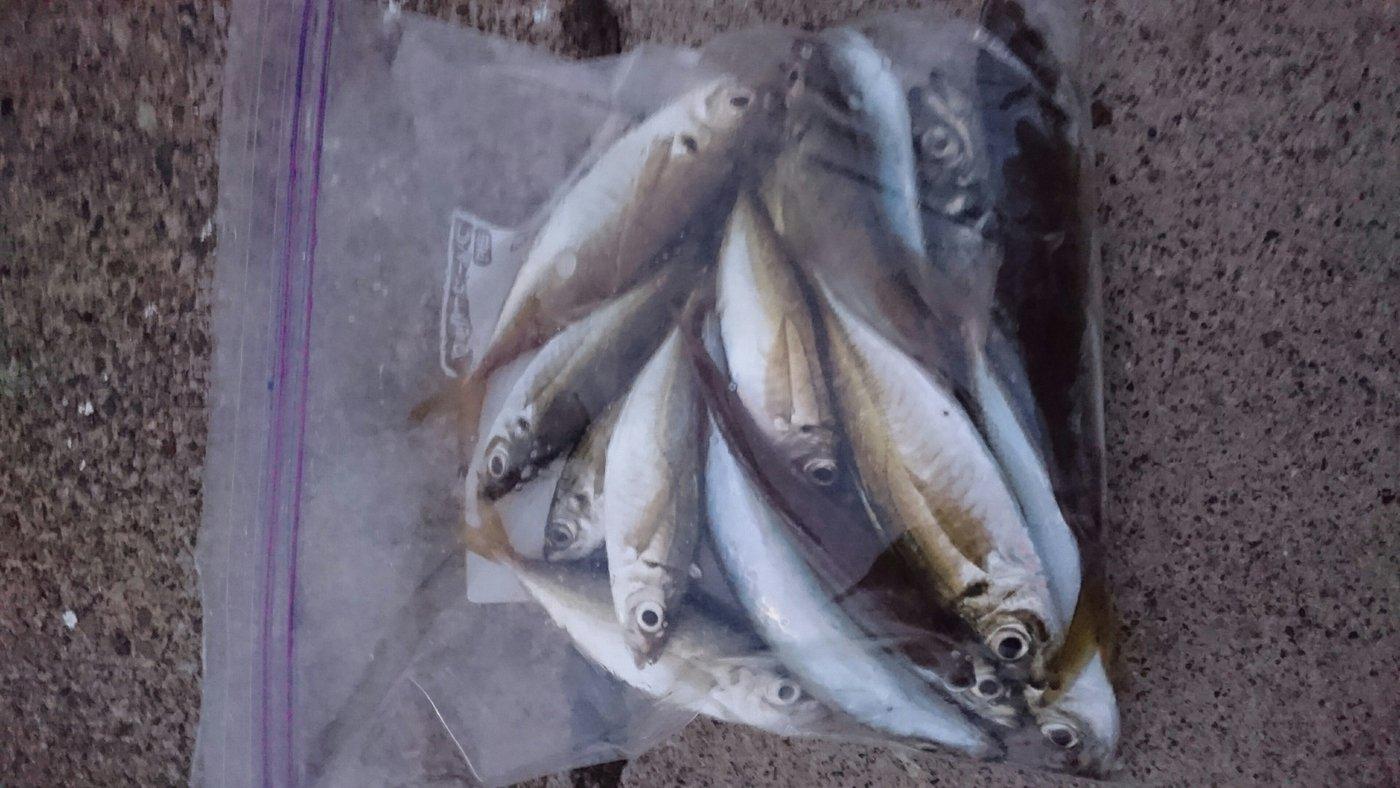 テン。さんの投稿画像,写っている魚はアジ