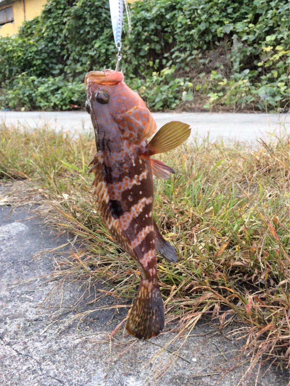 Alexさんの投稿画像,写っている魚はキジハタ