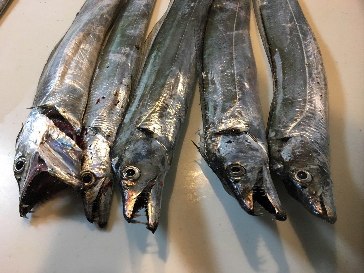 まるわたろうさんの投稿画像,写っている魚はタチウオ
