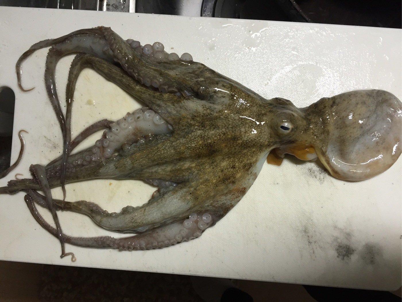 ファーさんの投稿画像,写っている魚はマダコ