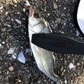 いかちゃんさんの千葉県夷隅郡での釣果写真