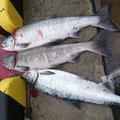 kaoさんの北海道宗谷郡での釣果写真