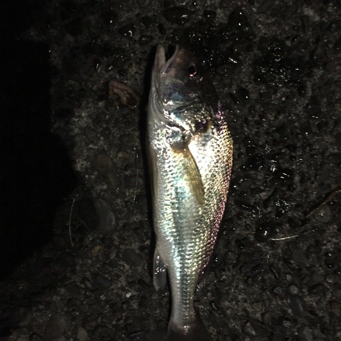 こしさんの投稿画像,写っている魚はイシモチ