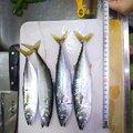 さわさんの茨城県神栖市でのマサバの釣果写真
