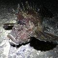 kubotaさんのオニオコゼの釣果写真