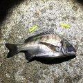 釣れないマン息子さんの兵庫県芦屋市での釣果写真