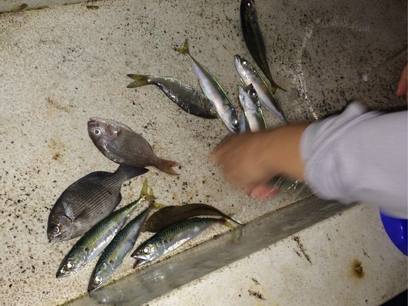 くましんさんの投稿画像,写っている魚はマサバ
