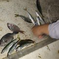くましんさんの静岡県賀茂郡でのマサバの釣果写真