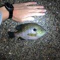 りょーさんの福岡県でのブルーギルの釣果写真