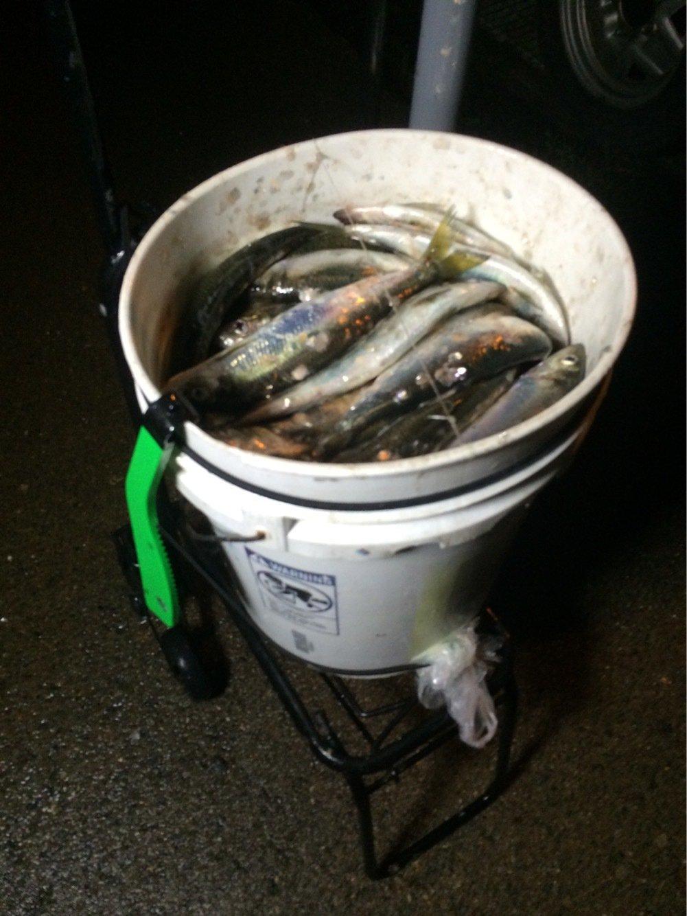 mkiraiさんの投稿画像,写っている魚はニシン