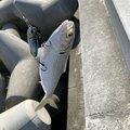 せりーぬさんの宮城県名取市での釣果写真