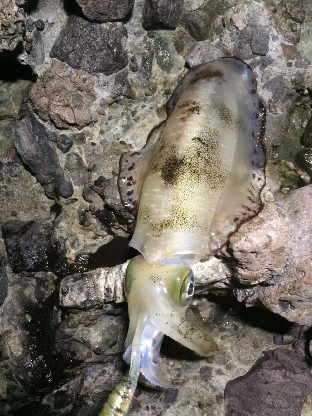 タカシさんの投稿画像,写っている魚はアオリイカ