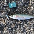 きょんきょんさんの静岡県静岡市でのマサバの釣果写真