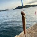 りなべるさんの広島県尾道市での釣果写真