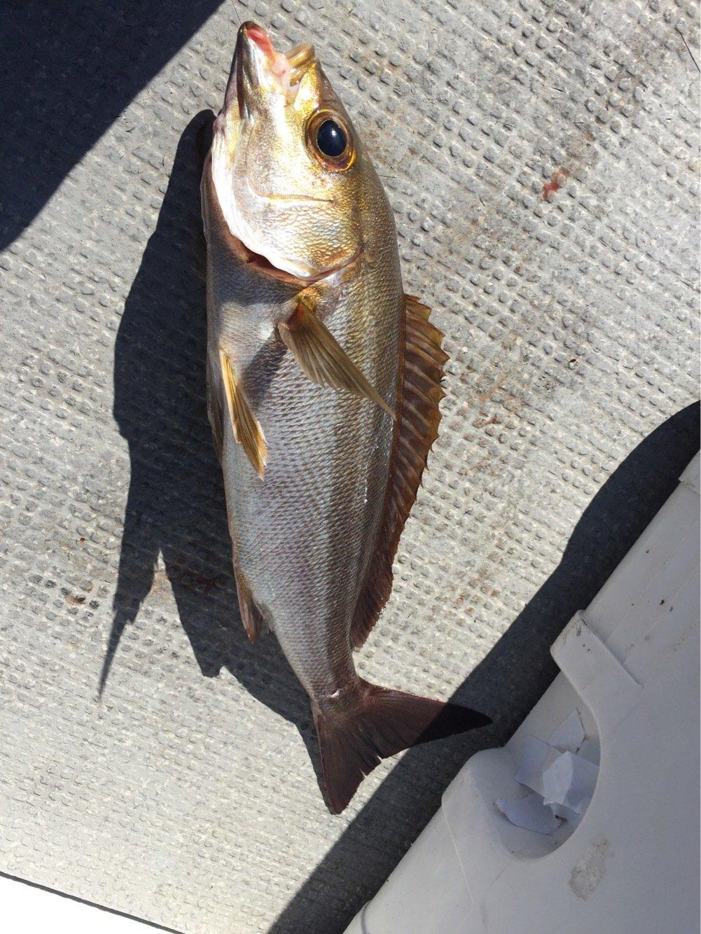 Atsushiさんの投稿画像,写っている魚はイサキ