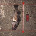 m@ーさんの青森県八戸市でのクロソイの釣果写真