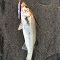 もりこうさんの青森県八戸市でのスズキの釣果写真