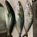 Su-DOさんの兵庫県芦屋市での釣果写真