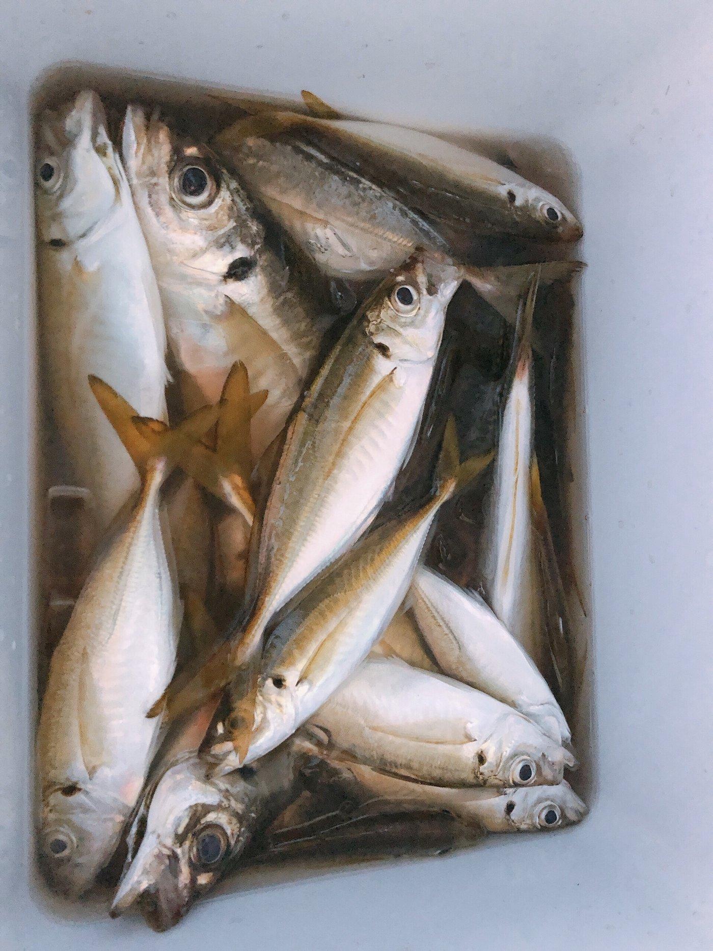Ayu*さんの投稿画像,写っている魚はアジ