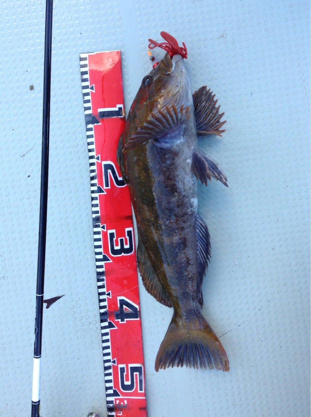 ガッツ!さんの投稿画像,写っている魚はアイナメ