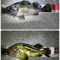 KabuGarciaさんのシマゾイの釣果写真