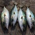 のんびりさんの神奈川県でのマサバの釣果写真