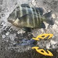 BBAさんの沖縄県でのスズメダイの釣果写真