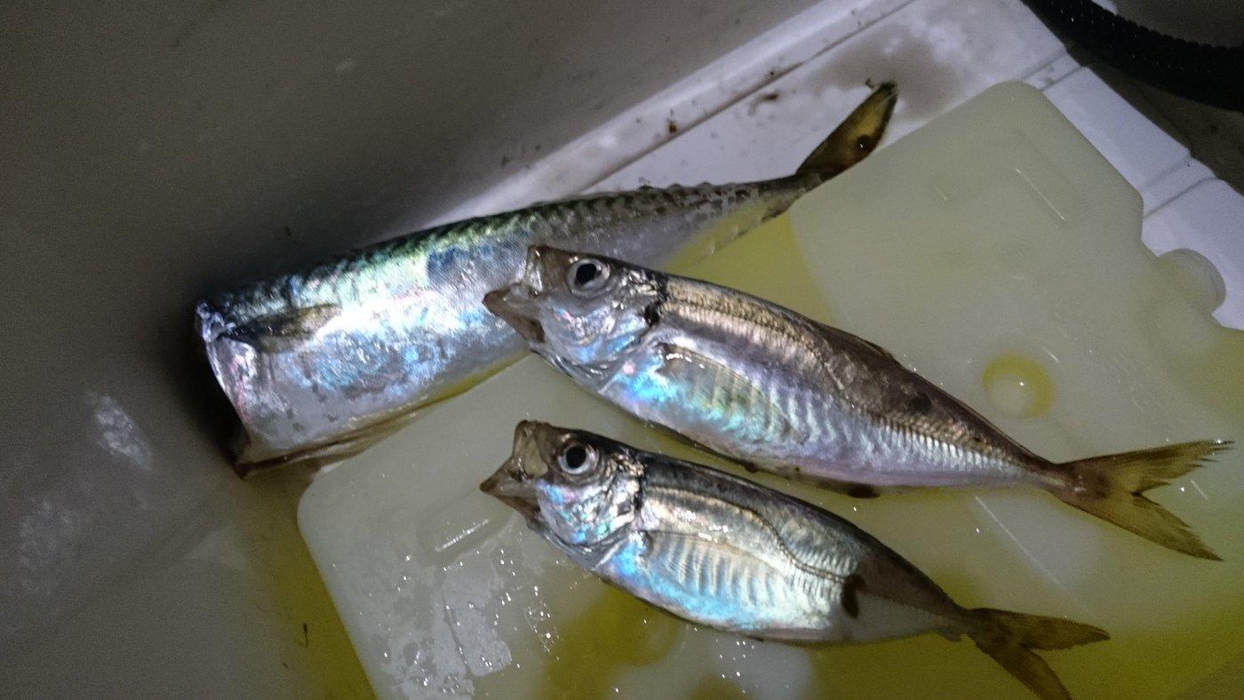 かおり@釣り初心者🔰さんの投稿画像,写っている魚はマサバ
