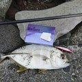 ぜっとさんの静岡県下田市での釣果写真