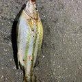 おじゃマルさんの神奈川県川崎市での釣果写真