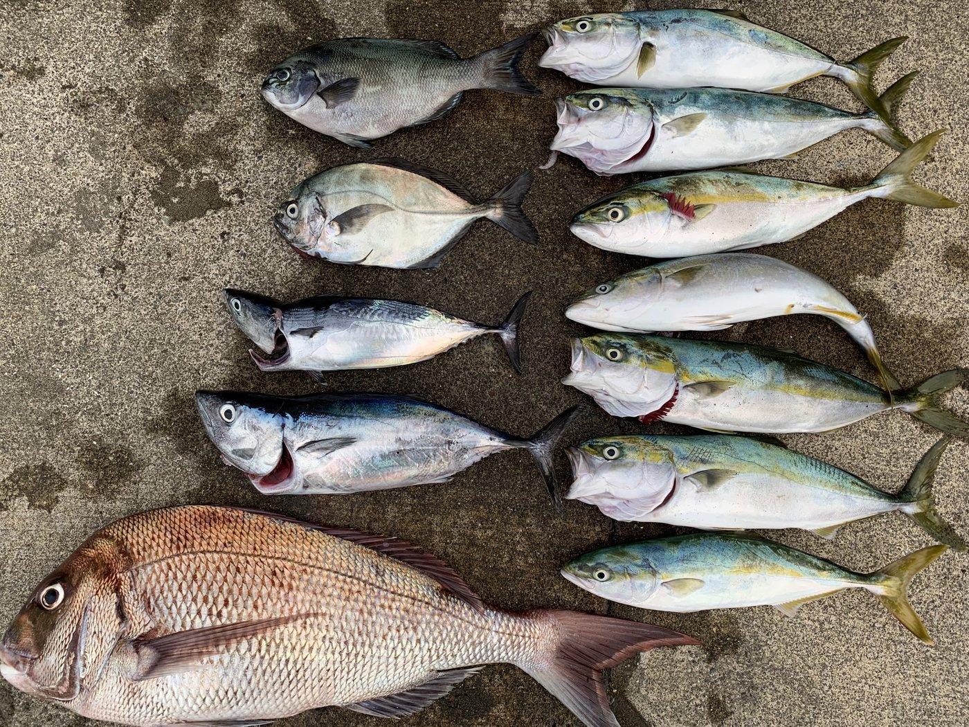 D.Mさんの投稿画像,写っている魚はマダイ,ブリ,シマアジ,メジナ,カツオ