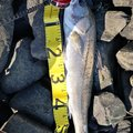 つりかーるさんの宮城県東松島市での釣果写真
