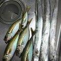 エボリューションさんの新潟県新潟市でのタチウオの釣果写真