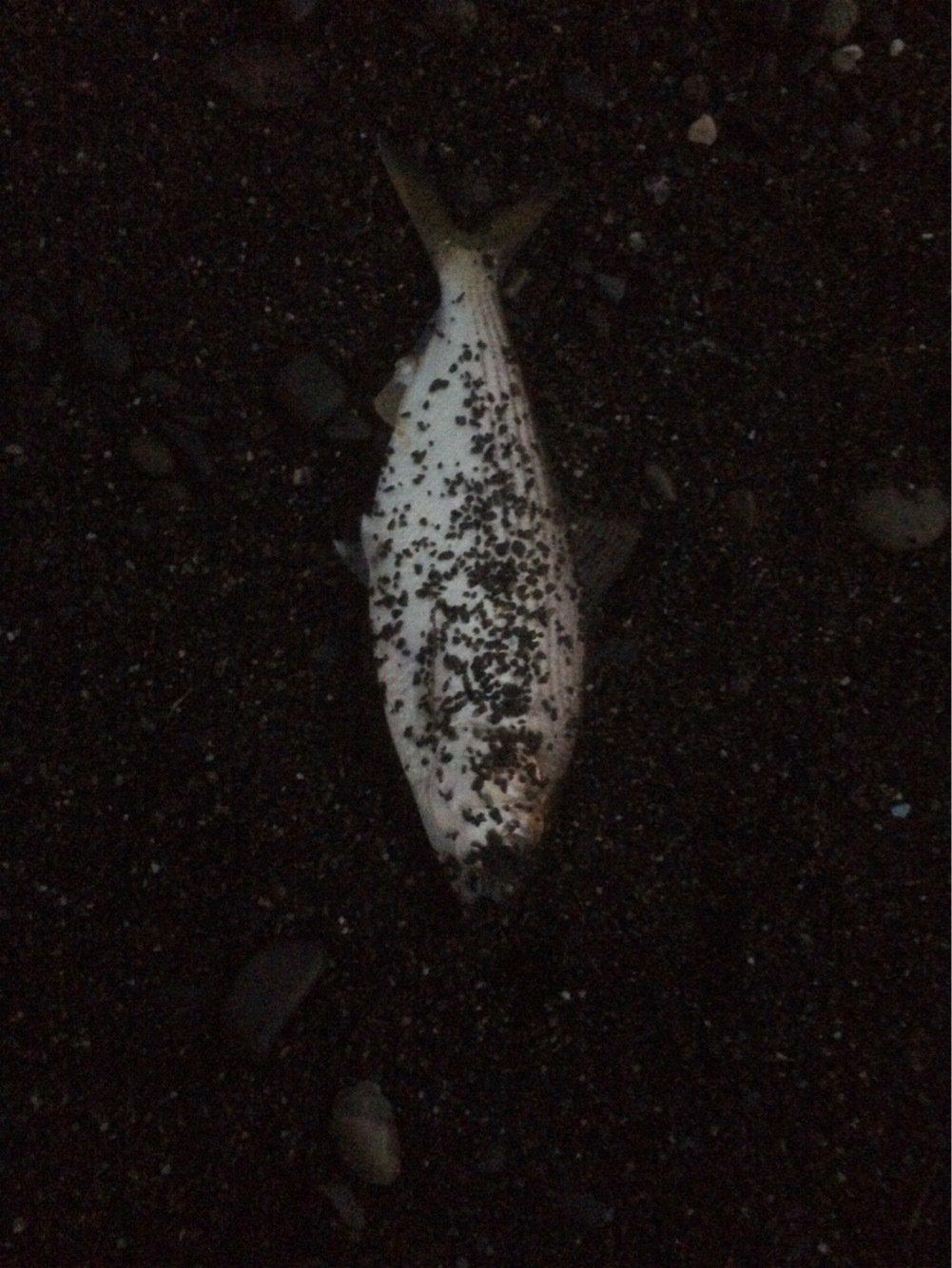 ヒロッシーさんの投稿画像,写っている魚はコノシロ